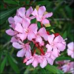 Oleander dangerous to dogs