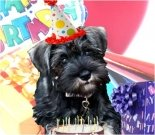 Birthday e-card, dog ecard, schnauzer card