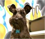 New Year ecard, dog ecard, schnauzer card