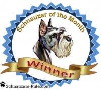 Schnauzer dog contest winner