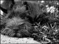Mini Schnauzer Picture, Barksdale