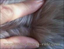 miniature schnauzer bumps, schnauzer comedones