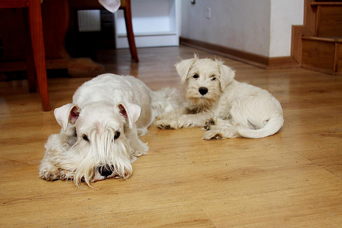 white schnauzer dogs