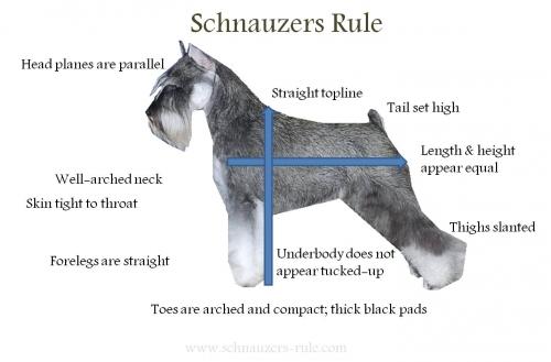 Miniature Schnauzer Body Characteristics