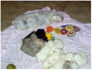 How big is a miniature schnauzer litter