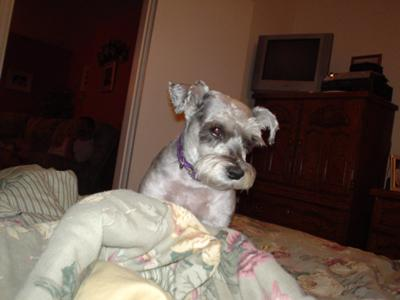 Miniature Schnauzer, We love and miss you