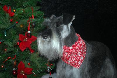 Miniature Schnauzer, Albert's Christmas portrait <br> Taken one week before he passed away