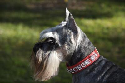 Miniature Schnauzer, Liebestraum's Georgie Girl 3-10-95 to 12-30-09