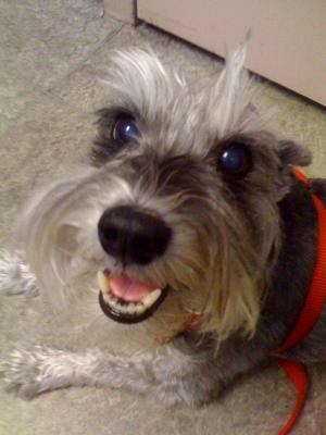 Miniature Schnauzer,, My last picture of my sweet angel.  11/28/99-5/19/10