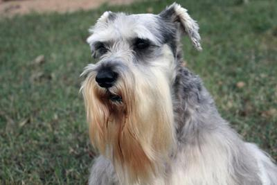 Miniature Schnauzer Angel