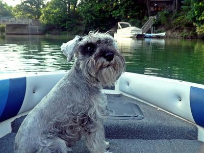 Schnauzer Angel enjoying boat ride