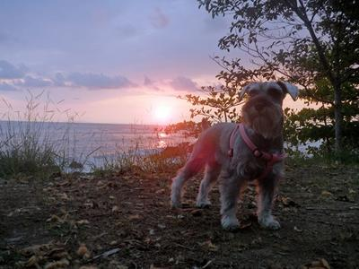 Schnauzer Angel at sunset