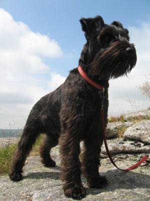 Archie on Dartmoor