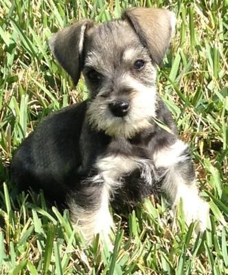 Miniature Schnauzer Puppy Jordan