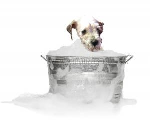 schnauzer dog bath, miniature schnauzer grooming