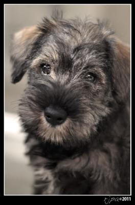 Mini Schnauzer Puppy Bella