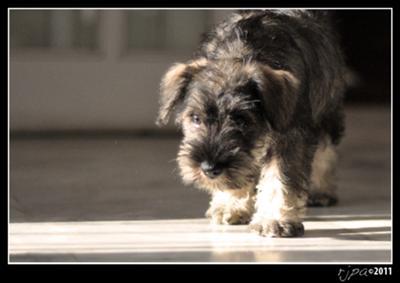 Miniature Schnauzer Puppy Bella