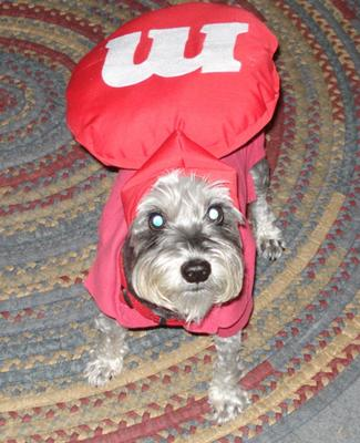 Red M&M Schnauzer