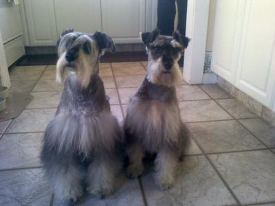 Rocco 2&3 after I gave haircuts!