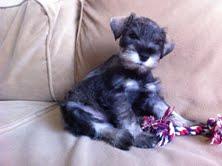 Miniature Schnauzer Cody