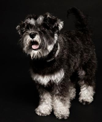 Mini Schnauzer Darcey at photo shoot