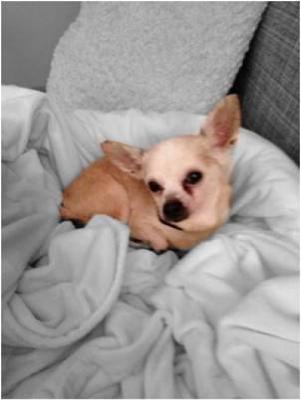 Chihuahua Luis