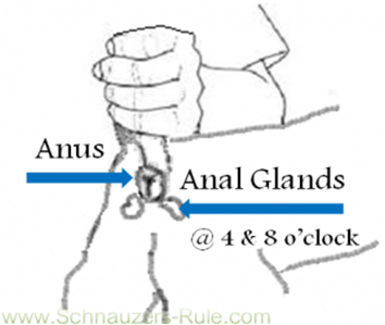 Dog Anal Glands