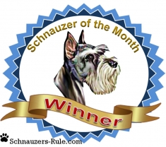 Schnauzer dog contest winner