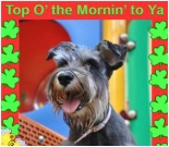 St. Patricks Day ecard, dog ecard, schnauzer card