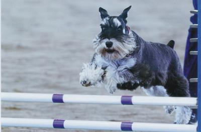Miniature Schnauzer Flash