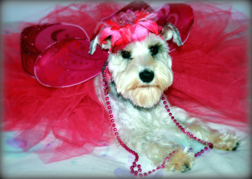 Mini Schnauzer Flossy the Flower Fairy