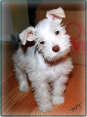 Miniature Schnauzer Puppy Flurry
