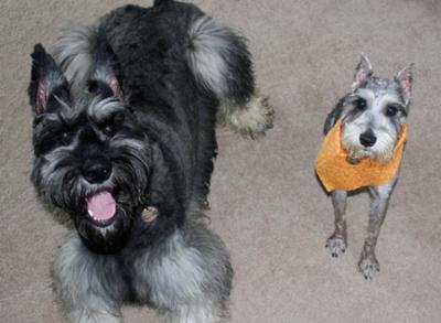 Schnauzers Gracie and Stormy