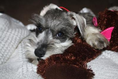 Mini Schnauzer Guess and her first Teddy Bear