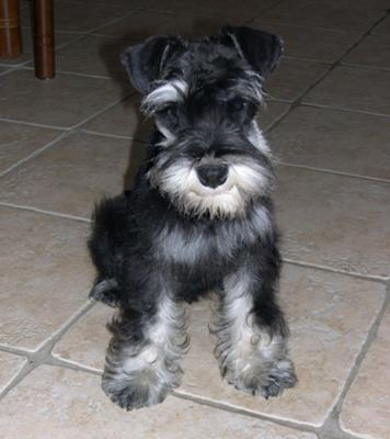 Schnauzer Gunga's  first haircut