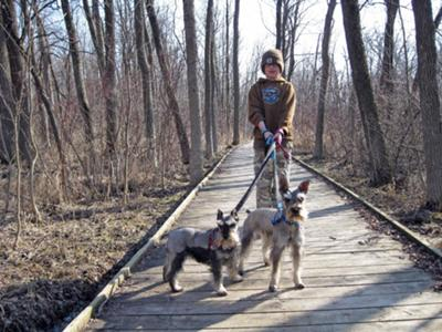 Miniature Schnauzers, Lexie and Buddy out on a walk.