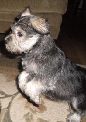 Mini Schnauzer Bentley