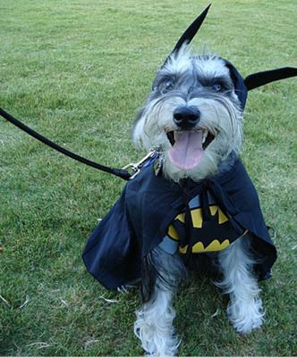 Holy Schnauzer Batman