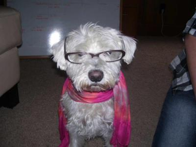Miniature Schnauzer Irving, the Intellect