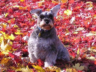 Kip enjoying a New England Fall