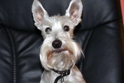 Miniature Schnauzer, Do you think I have big ears?