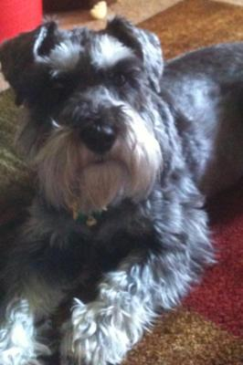 Mini Schnauzer Mary Lou