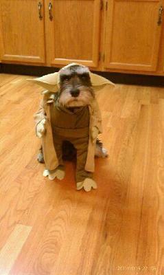 Halloween Schnauzer Yoda