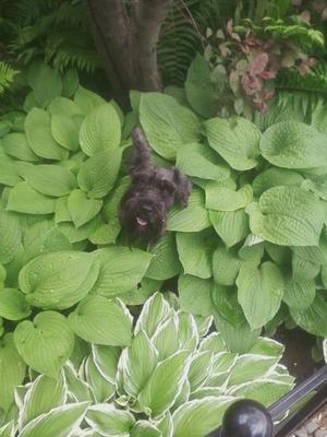 Gomer in the Hosta's!