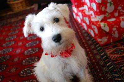 White Mini Schnauzer Brody Boy