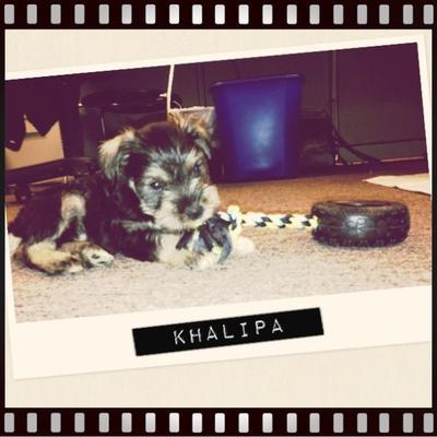 Mini Schnauzer puppy Khalipa