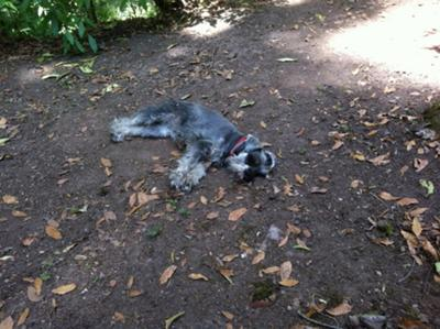 Milka exhausted at the end of the last walk