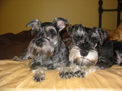 Mini Schnauzers Millie & Otto