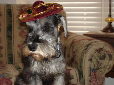 Miniature Schnauzer, Mom made me wear this!