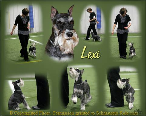 Mini Schnauzer Lexi Obedience Training
